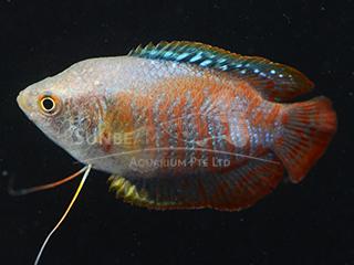 Dwarf Gourami Red Coral Male