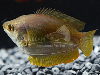 Dwarf Gourami Red Coral Female