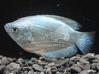 Dwarf Gourami Blue Coral Female