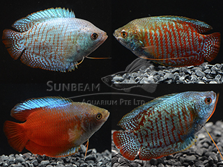 Assorted Dwarf Gourami Male