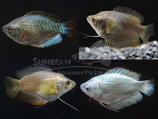 Assorted Dwarf Gourami Female