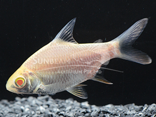 Tinfoil Red Tail Gold Barb
