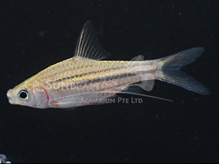 Striped Barb