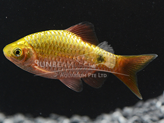 Male Rosy Neon Barb