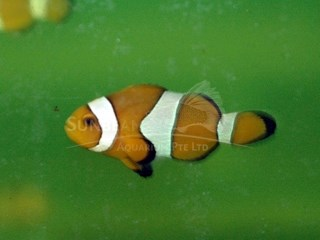 local clownfish *captive breed*