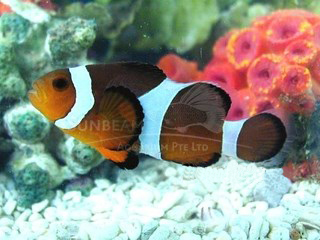 local clownfish