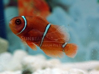 maroon clown - goldbar *CAPTIVE BRED*