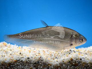 Black Knife Fish