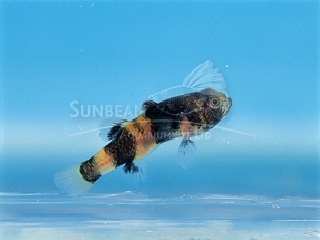Doria's Bumbble Bee Goby