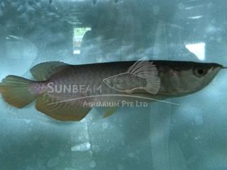 Red Tail Golden Asian Arawana