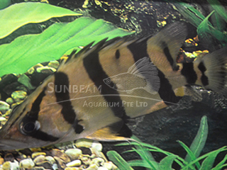 Narrow Bar- Tiger Fish