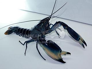 Blue Moon Crayfish