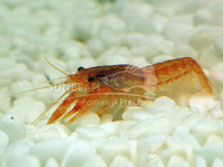 Mini Mexican Red Crayfish