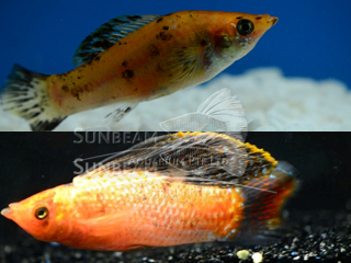 gold marble SAILFIN molly (pairS)