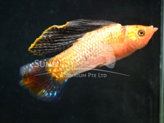 gold marble SAILFIN molly  (male)