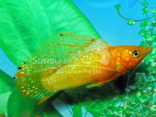gold leopard SAILFIN molly  (male)