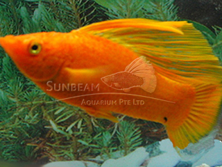blood red SAILFIN molly (male)