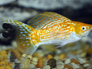 saffron SAILFIN lyretail molly