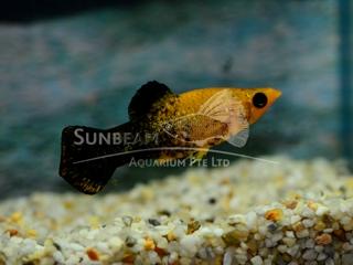 gold tuxedo molly (prS)
