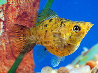 red leopard balloon molly