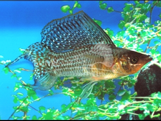 green SAILFIN lyretail molly (pairS)