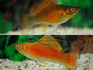 copper SAILFIN molly (pairS)