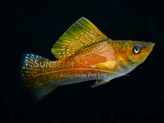 copper SAILFIN molly (male)