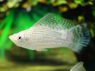 silver SAILFIN molly (male)
