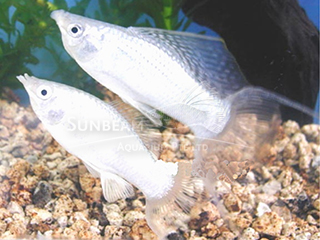 silver SAILFIN lyretail molly (pairS)