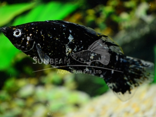 marble SAILFIN molly (male)
