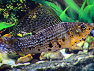 marble copper SAILFIN molly (pairS)