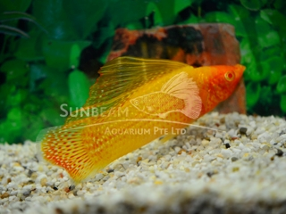 gold SAILFIN molly (male)