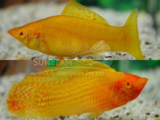 gold SAILFIN molly  (pairS)