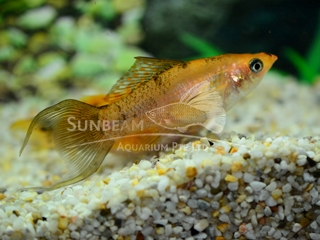gold marble SAILFIN lyt molly (pairS)