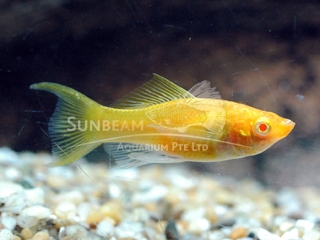 gold SAILFIN lyretail molly (pairS)