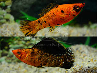 red leopard SAILFIN molly (pairS)