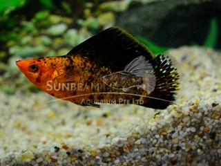 red leopard SAILFIN molly (male)