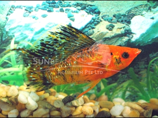 red leopard SAILFIN lyretail molly (pairS)