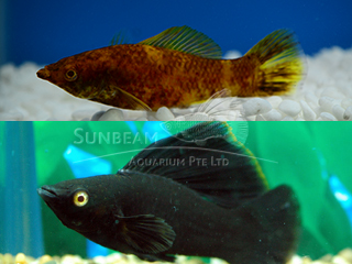 chocolate SAILFIN molly (pairS)