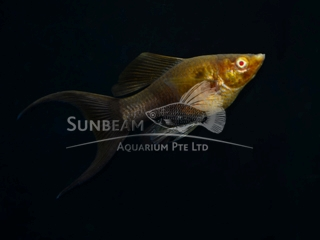 chocolate SAILFIN lyretail molly (pairS)