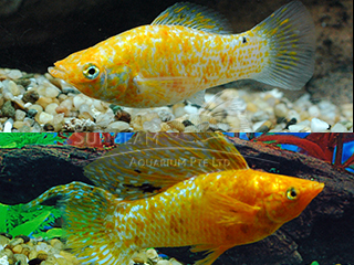 red spotted silver SAILFIN lyretail molly (pairS)
