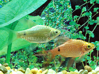 Rosy Long Fin Barb Pair
