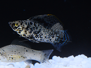 marble green SAILFIN molly (male)
