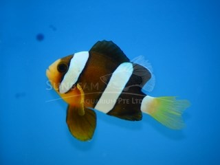 clarkii (black african) clown *captive breed*
