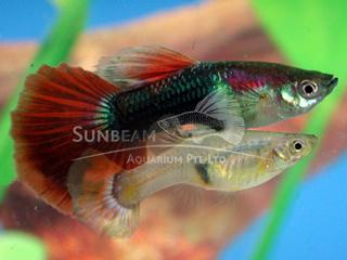 half black red tail guppy