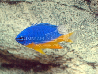 azure half blue damsel