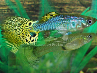 cobra neon guppy pair