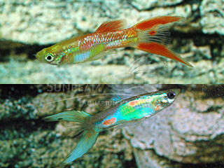 assorted neon lyretail male guppy