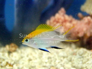 blue fin/black damsel