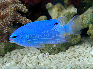blue devil (female)